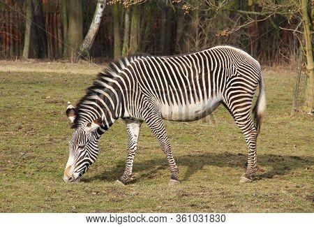 Grevy´s Zebra (equus Grevyi) Pasturing On The Grass