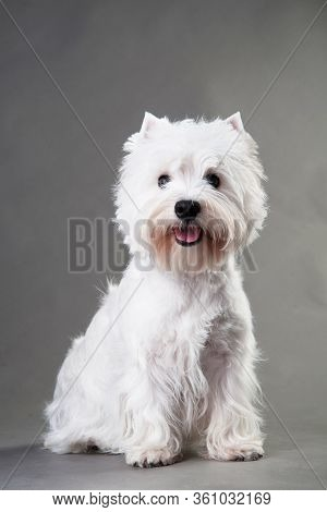 Young West Highland White Terrier On A Grey Background, West Highland White Terrier In Studio