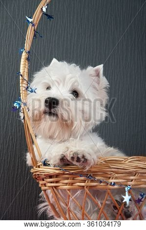 Portrait Of A Young West Highland White Terrier On A Grey Background In A Wicker Basket, West Highla