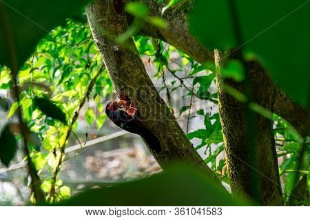 Bearded Barbet Bird While Digging A Hole On A Tree Trunk. The Bearded Barbet Is An African Barbet