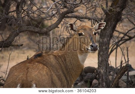 African Deer From Behind With Head Turned, Looking Toward Camera