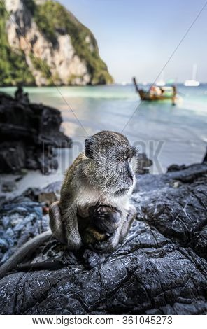 Monkey At Yong Kasem Beach, Known As Monkey Beach, Phi Phi Don Island, Thailand, Southeast Asia