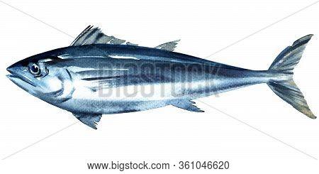 Bluefin Tuna, Tunny, Whole Fresh Saltwater Fish, Thunnus Thynnus, Seafood, Close-up, Isolated, Hand