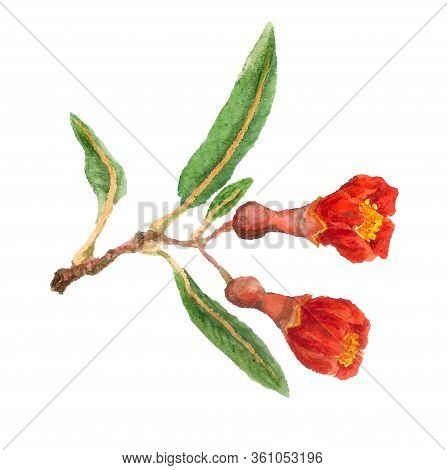 Watercolor Image Of Two Red Flowers Of Pomegranate On White Background.