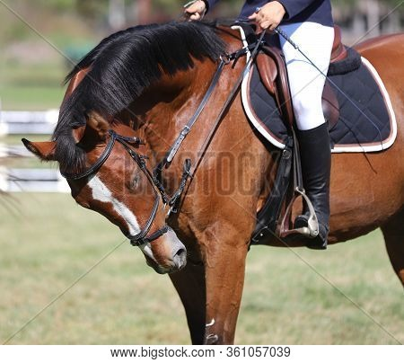 Beautiful Thoroughbred Warmblood Chestnut Colored Racehorse Mare Posing On The Showground