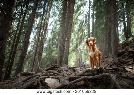 Tracking With A Dog In The Forest. Pet For A Walk. Nova Scotia Duck Tolling Retriever In Nature