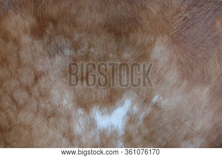 Spotted Cowhide As Background. The Skin Of A Cow.