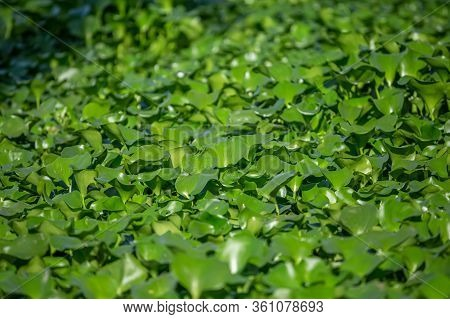 Detailed View Of Lake With Common Water Hyacinths, Aquatic Plants, On The Bank, In Pateira De Fermen