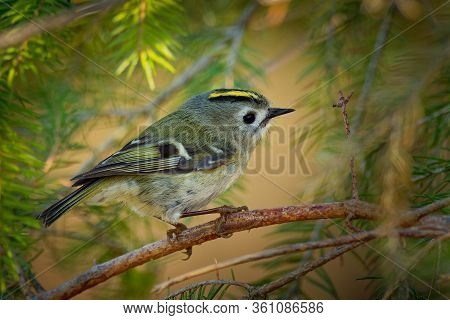 Goldcrest - Regulus Regulus Sitting On The Branch Of The Spruce. Very Small Passerine Bird In The Ki