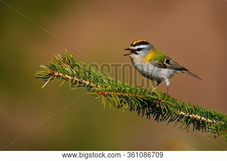 Firecrest - Regulus Ignicapilla Small Forest Bird With The Yellow Crest Singing In The Dark Forest,