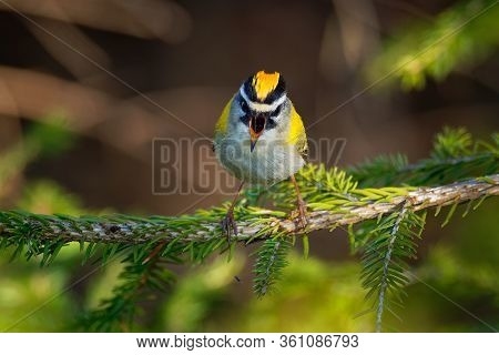Firecrest - Regulus Ignicapilla With The Yellow Crest Singing In The Dark Forest, Very Small Passeri