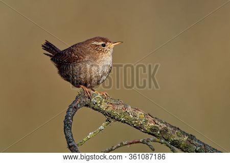 Eurasian Wren (troglodytes Troglodytes) Singing On The Branch, Very Small Brown Bird, The Only Membe