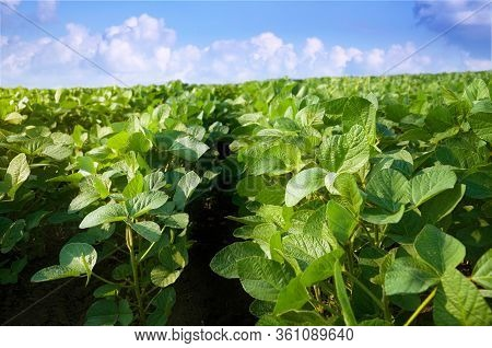 Soybean Plant On An Agricultural Field Against A Blue Sky With Clouds. Rows Of Young Green Soybean S