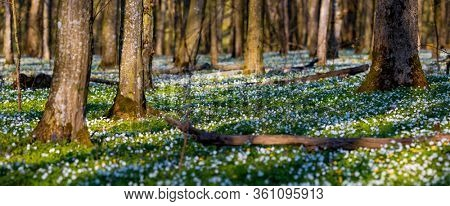 Fantastic forest with fresh flowers in the sunlight. Early spring time is the moment for wood anemone. Snowdrop nemerosa. Template floral background. Nature wallpapers. Ecology concept. Beauty world.