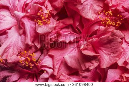 Double Headed Pink Hibiscus Flower Background. Beautiful China Rose Flower Background. Blooming Hibi