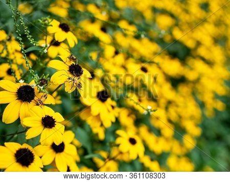 Black-eyed Susan Flowers, Rudbeckia Hirta, Closeup In Beautiful Garden. Selective Focus With Narrow