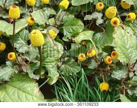 Fresh Flowering Para Cress Plant, Spilanthes Oleracea, Toothache