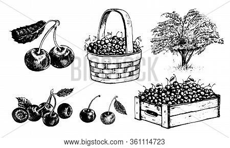 Cherry In A Basket, Cherry In A Box, Half An Cherry, An Cherry With A Leaf, Cherrytree. Vector Graph
