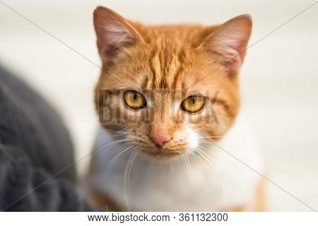 Close Up Portrait Of Red Cat With Yellow Eyes Looking In Camera. Ginger Red And White Cat. Homeless