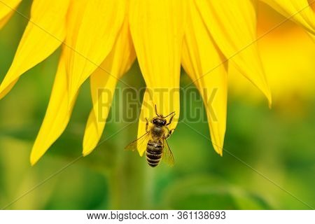 Closeup Sunflower With Bee On Green Background