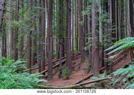 Redwood Forest Trees Tall And Slender Growing On A Slope.