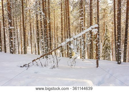 Frozen Forest In The Lapland Country In Arctic Finland, Scandinavia