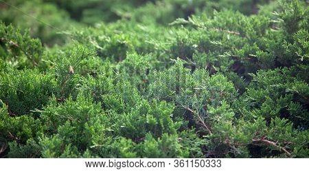 Cypress Needles, Cypress Thickets, Ornamental Coniferous Vegetation