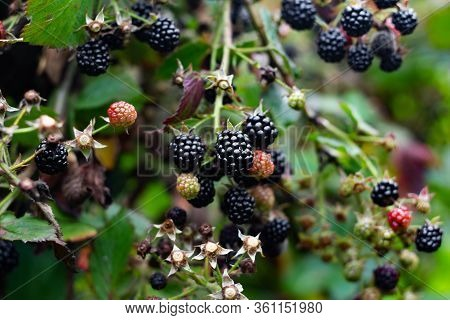 Blackberry Berries On A Branch Close-up. A Blackberry Bush.berry Harvest. Ripe Blackberries On A Gre