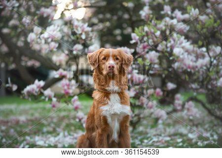 Dog At The Magnolia Flower. Pet On Bench In Park. Pink Flowering Garden. Nova Scotia Duck Tolling Re