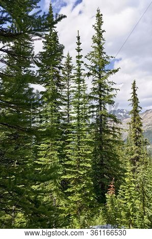 Coniferous Forest. Tall Evergreen Spruce Against Mountains. Banff National Park, Peyto Lake, Canada