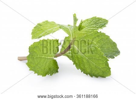 Closeup Of Isolated Fresh Spearmint  Leaves On White Background. Spearmint Or Peppermint Is Herbal U