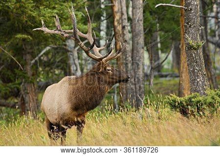 Huge Elk Wapiti In One Of National Parks Of North America, Large Herbivore In Us