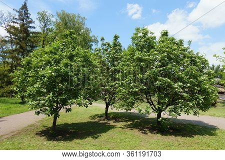 3 Blossoming Trees Of Sorbus Aria In Mid May