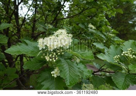 Beginning Of Florescence Of Sorbus Aria In May