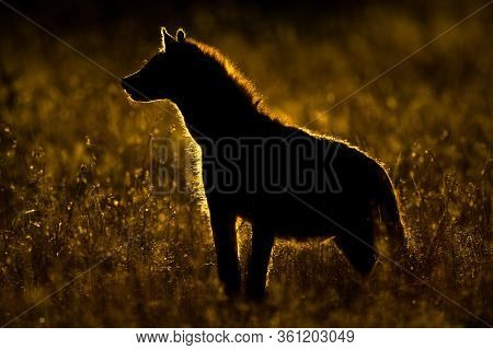 Spotted Hyena Stands Silhouetted In Long Grass
