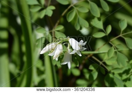 White Spanish Bluebell - Latin Name - Hyacinthoides Hispanica (scilla Hispanica) Alba