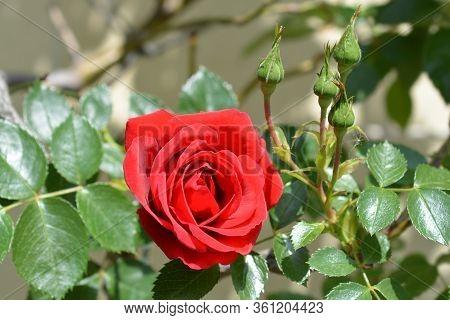 Climbing Red Rose Sympathie - Latin Name - Rosa Sympathie