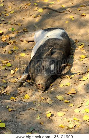 lazy pig sleeping in the shade of some trees poster