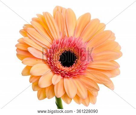 Beautiful Single Orange-pink Mullticolored Gerbera Daisy Flower Isolated On White Background
