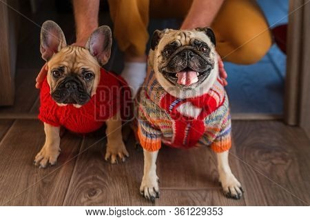Man Holding And Stroking His Pets Pug Dog And French Bulldog. Happy Dogs Dressed In Knitted Sweaters