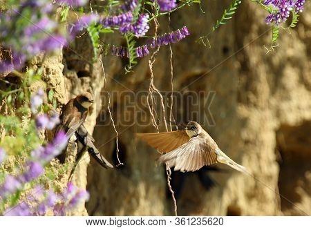 The Sand Martin (riparia Riparia) Or European Sand Martin, Bank Swallow Or Collared Sand Martin Arri