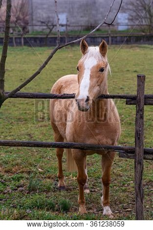Texan Horse, Quarter Horse Red Roan In The Fence Of A Farm
