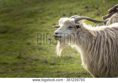 Funny Goat Portrait With Long Lips. Open Mouth. White Long Haired Goat With Horns And Beard