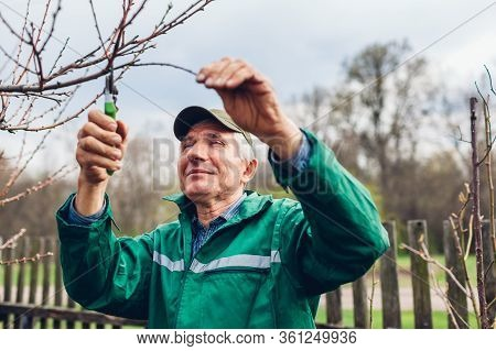 Man Pruning Tree With Clippers. Male Farmer Cuts Branches In Autumn Garden With Pruning Shears Or Se