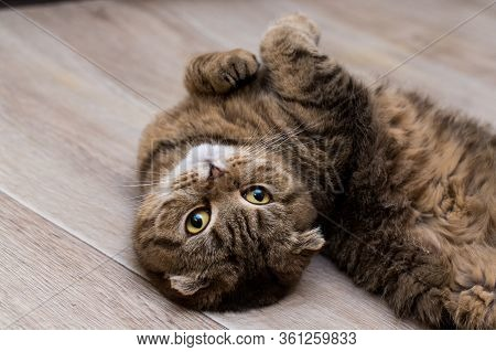 Lovable Scottish Fold Cat Cat Lies On The Wooden Floor. Portrait Of A Very Funny Fluffy Cat