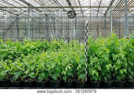 Growing Of Poplar Seedlings In Greenhouse With Climate Control
