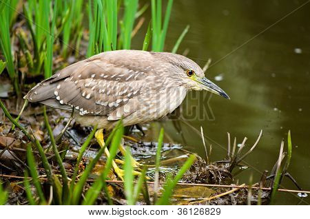 Ready to strike (Nycticorax nycticorax)
