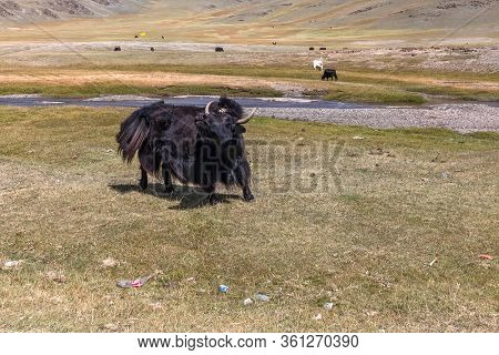 Yak Pastures Of Mongolia. High In The Mountains