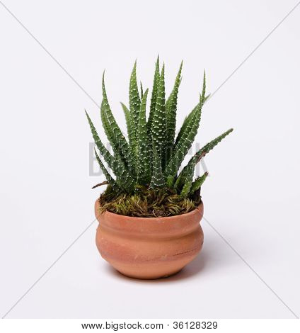 Cute little agave isolated