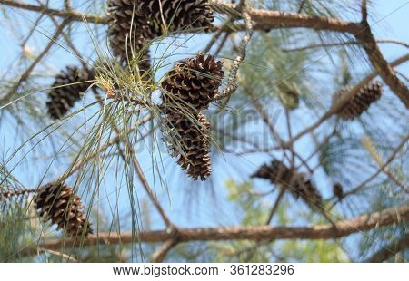Pine Cones And Needles Hanging From Tree Branch